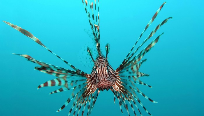 Lionfish-Animals-Fishes-Underwater-Sea-Ocean-Tropical-Water-Swim-Fins-Picture-Gallery-1920x1080